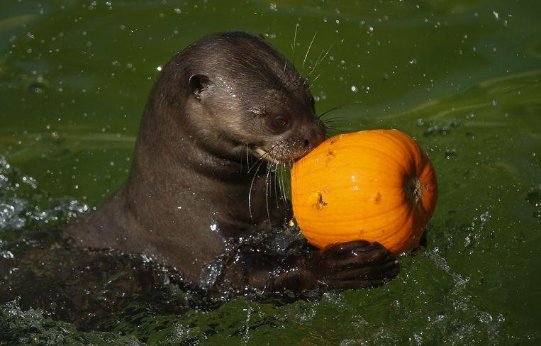 Een otter. Beeld reuters