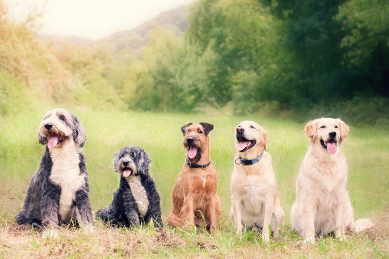 Geinig: welke hond is jouw dubbelganger?