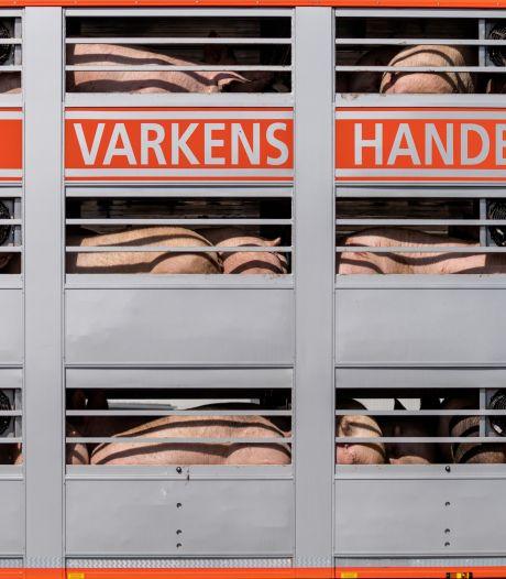 Varkenshandelaren in het nauw door sluiting slachterij Gosschalk: 'Je voelt je net een bedelaar'