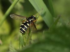 Boswachter door het dolle heen om ontmoeting met bijzondere vlieg: 'Wat een pracht'
