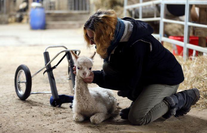 Ronja Pohl aait haar alpaca Marie.