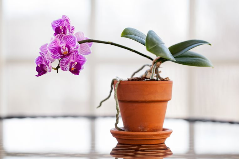 Orchidee Beeld Getty Images