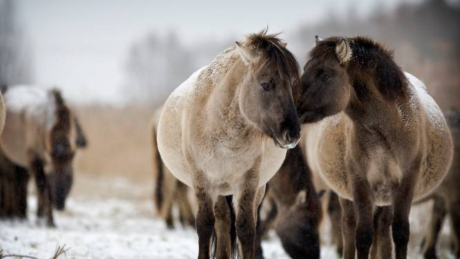 Tussenstand Staatsbosbeheer: 3.000 grazers dood in Oostvaardersplassen