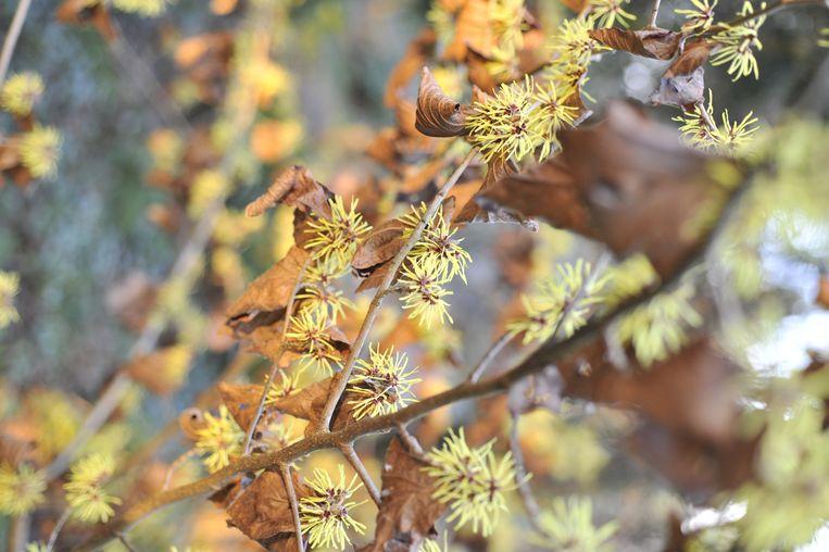 Een toverhazelaar in bloei in het Arboretum.