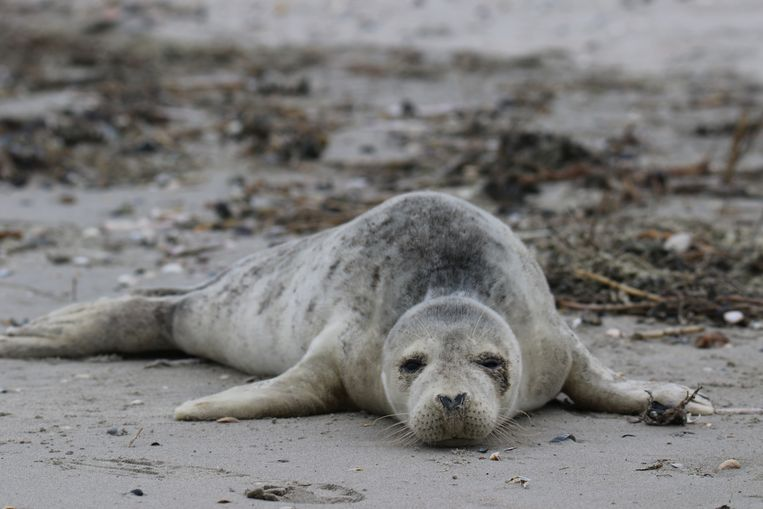 Het zieke zeehondje was een mannetje dat 21 kilo woog