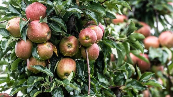 Goede hoop op mooie oogst bij appels- en perentelers in de Liemers: 'Onze gebeden zijn verhoord'