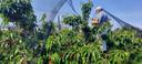 Jo van Houtum spant netten boven zijn kersenbomen in Heeswijk-Dinther.