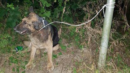 Dove hond met staar vlakbij Belgische grens vastgebonden aan paal en overleden