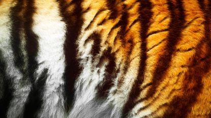 "WWF: ""Ruim 1.400 tijgers gestroopt in 12 jaar"""