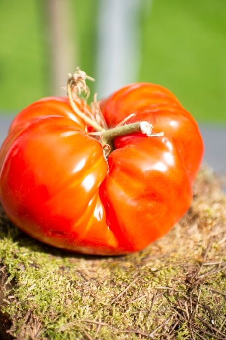 En France, des insectes remplacent les pesticides pour protéger les tomates