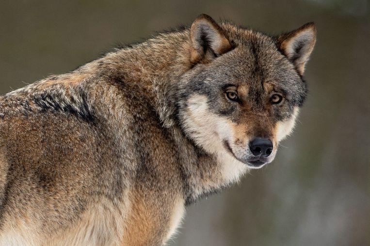 Een wolf in een wildpark bij het Duitse Göttingen.  Beeld AFP