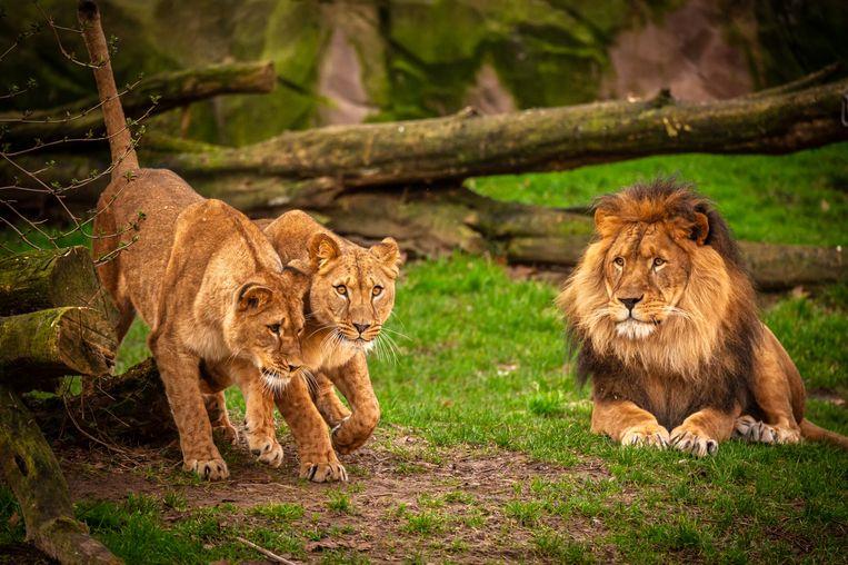 Breng  met je ecocheques een bezoekje aan leeuwen Kira, Tasa en Nestor. Beeld ZOO