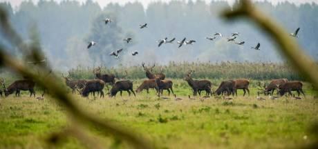 Arme gezinnen profiteren van afschot herten Oostvaardersplassen: 8000 zakjes vlees naar voedselbank
