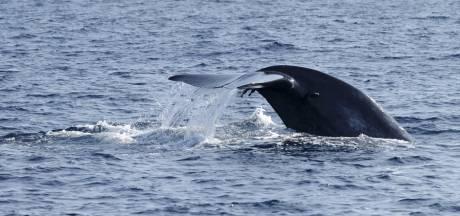 Un juge tranche en faveur des défenseurs de baleines
