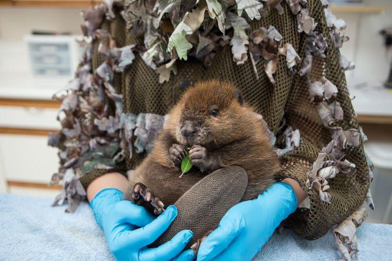 Een maand oude verweesde Noord-Amerikaanse Bever wordt vastgehouden door een verzorger in het Sarvey Wildlife Care Center in Arlington, Washington.  Beeld Suzi Eszterhas