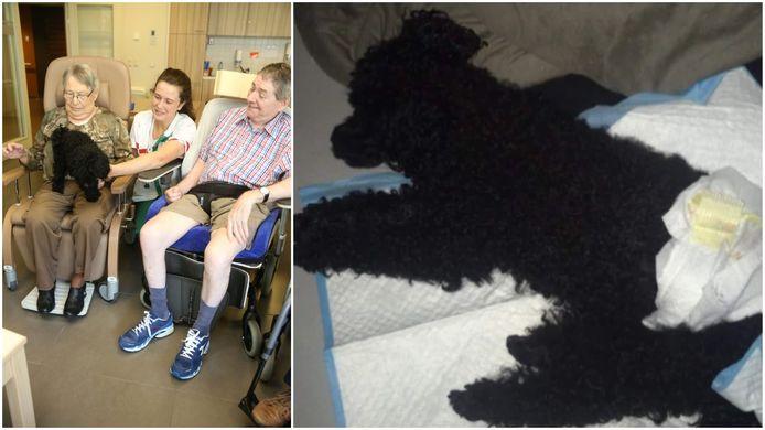 Links: hondje Milo twee jaar geleden met baasje Lenka en enkele bewoners in woonzorgecentrum Sint-Antonius.  Rechts: vandaag, getroffen door een plotse verlamming.