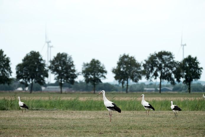 Ooievaars aan de Mallandweg met de windmolens op Duivens grondgebied op de achtergrond. Foto : Jan Ruland van den Brink