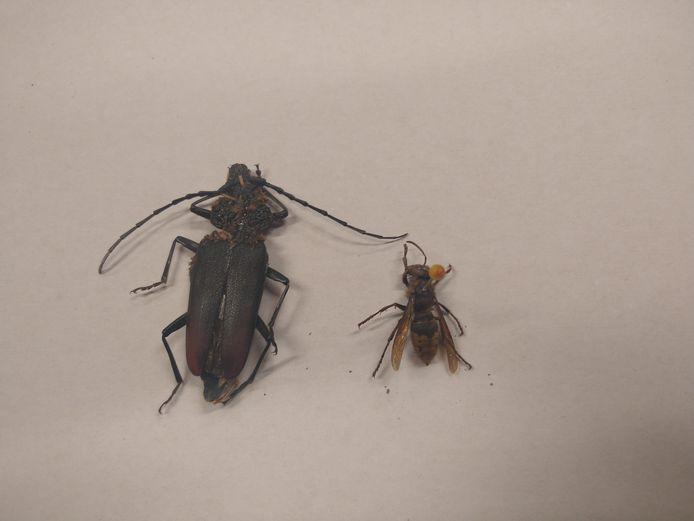 De heldenbok naast een hoornaar.