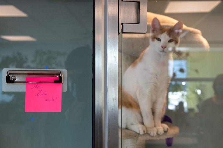 Iedereen wil tegenwoordig wel een kat die zijn Zoom-meetings komt verstoren. Beeld Wouter Maeckelberghe