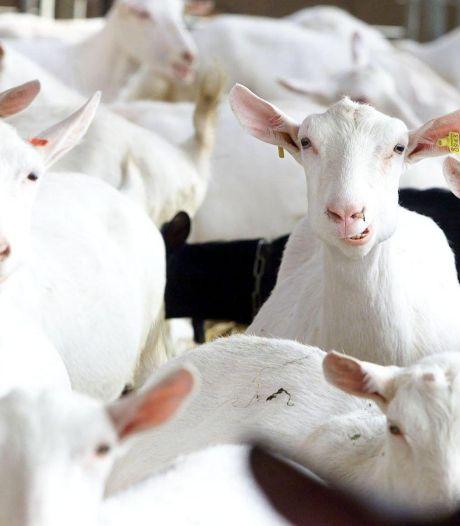 Twee jaar geen nieuwe geitenhouderijen in Brabant