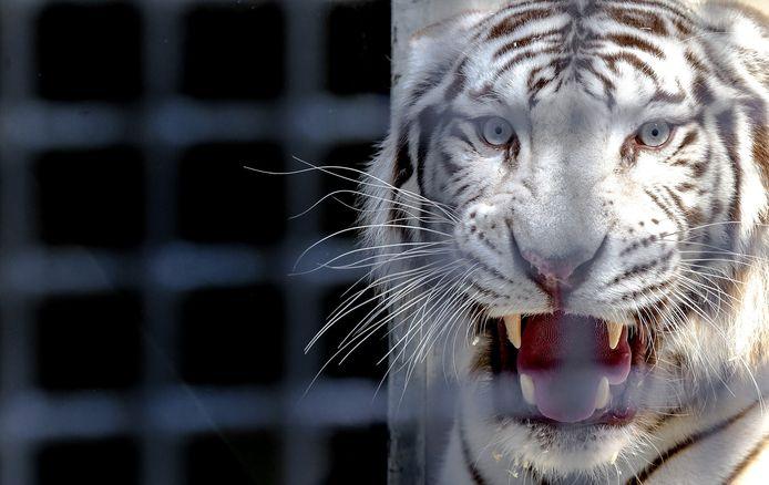Een witte tijger.