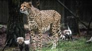 Tien dieren dood na brandstichting in dierenverblijven Beekse Bergen