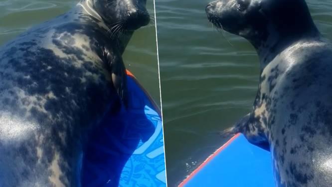 Paddleboarder beleeft dag van zijn leven wanneer sympathieke zeehond op board wipt
