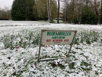 Aprilse grillen: krokussen in Verloren Bos bedekt onder sneeuwlaagje
