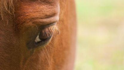 Paardenbeul slaat toe in Gingelom: veulen bloedt dood