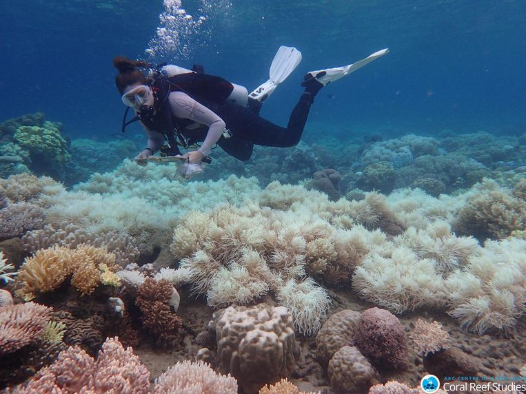 Een duiker onderzoekt de koralen. Bij sommigen is duidelijk verbleking vast te stellen. Beeld Greg Torda/ARC