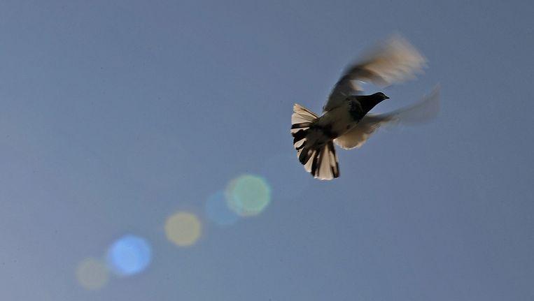 Vliegende duif. Beeld afp