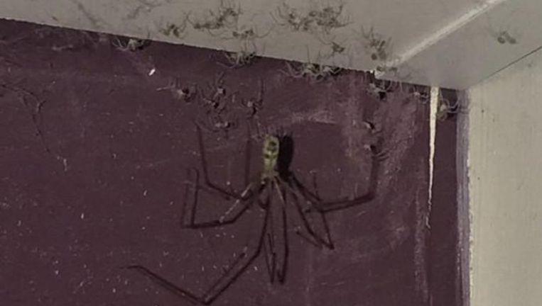 De spin van zo'n 12 centimeter werd omringd door tientallen babyspinnen.
