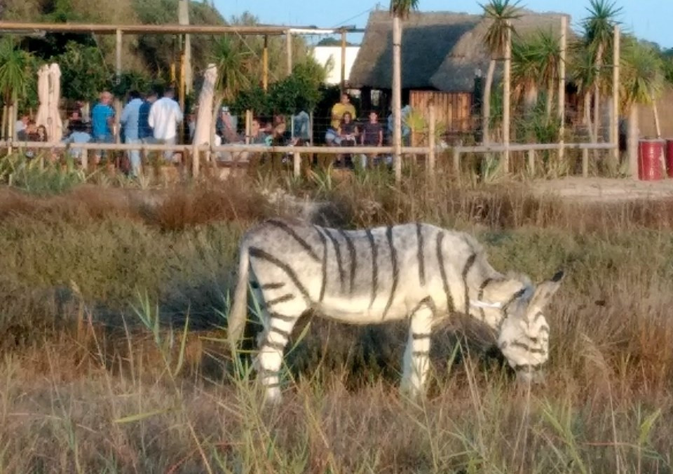 Een van de als zebra beschilderde ezels.