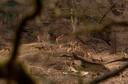 Boswachter Henk Ruseler spotte onlangs nog een kudde spelende lammetjes.