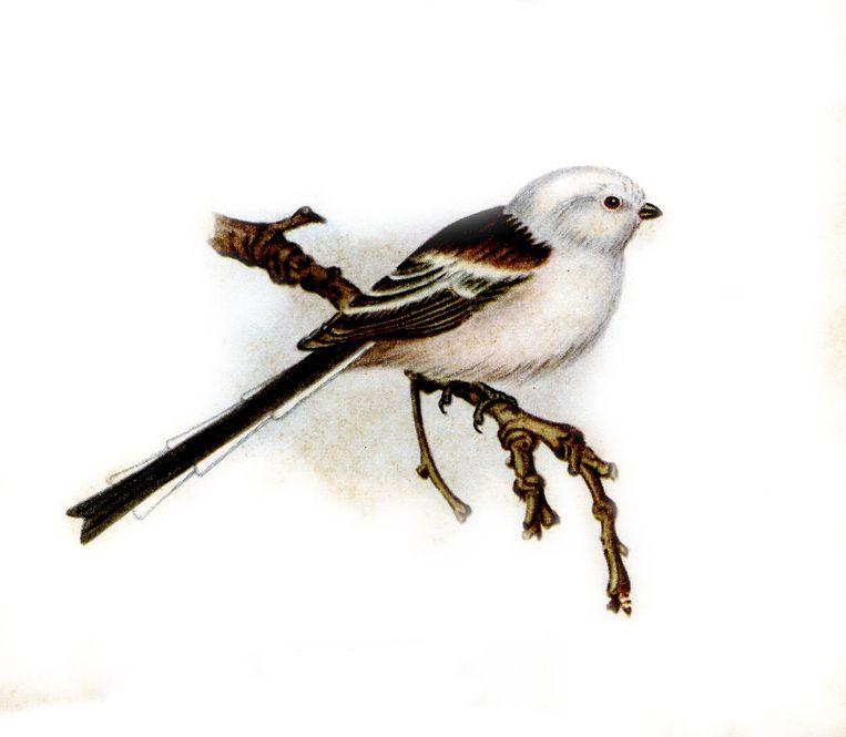 Staartmees. Roep van rusteloos rondtrekkende groepen. Een scherp, drielettergrepig srieh-srieh-srieh en een enigszins explosief zerrr. Ook een klikkend pt (of zepp); bij opwinding een langgerekte, hoge triller. Zang nogal zacht, kwetterend, zelden te horen. Beeld ANWB vogelgids van Europa, Illustratie: Karl Aage Tingaard, Vogels in Kleuren