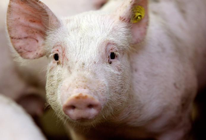 Het kweken van complete organen in varkens is nog toekomstmuziek.