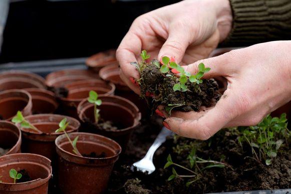 Houd de kwetsbare planten de eerste dagen uit de felle zon