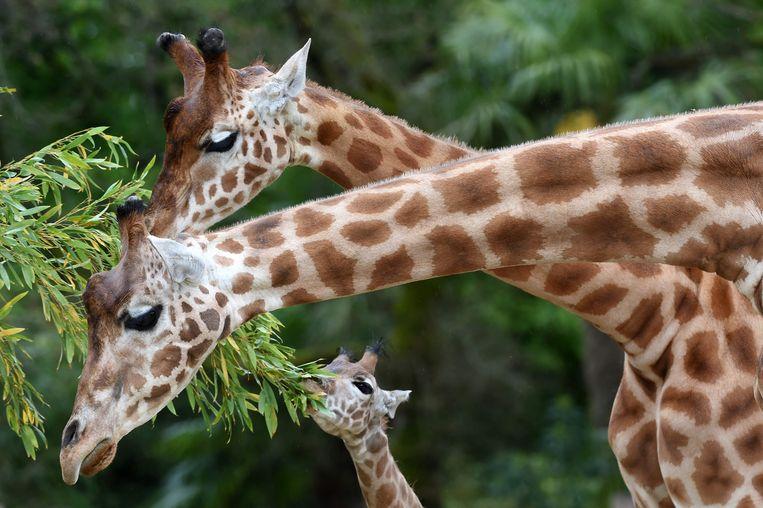 Giraffen hebben ieder een uniek huidpatroon waar ze aan te herkennen zijn, met behulp van gezichtsherkenningssoftware die voor mensen werd gebouwd.  Beeld AFP