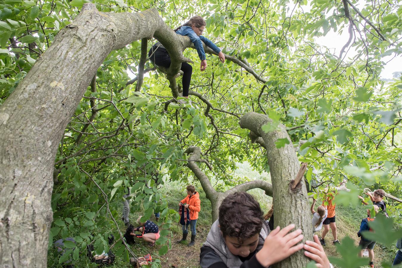 Kinderen Aarden in de Uiterwaarden onder leiding van Kasper Heineke - in natuurgebied Klein Willemswaard - door in bomen te klimmen.