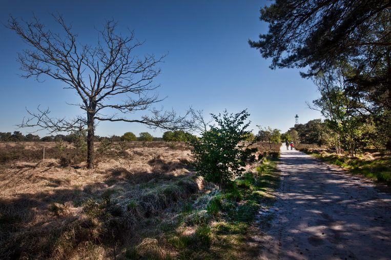 De Kalmthoutse Heide in de blakende zon. De droogte zal nog even blijven aanhouden.  Beeld jonas lampens