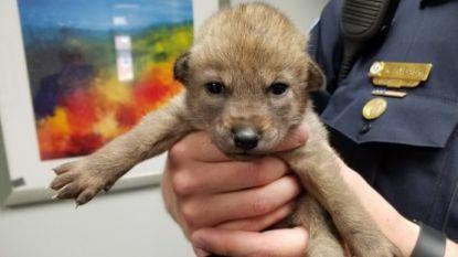 Deze 'schattige pup' werd binnengebracht bij Amerikaanse politie, maar bleek iets heel anders dan een hond