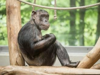 Antwerpse Zoo verwelkomt drie nieuwe chimpanseevrouwtjes