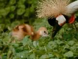 Bedreigde grijze kroonkraanvogel geboren bij Beekse Bergen