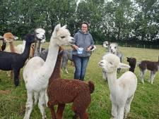 Geboortegolf bij alpacafarm in Kerkwerve: ze zijn écht zo lief als ze eruitzien