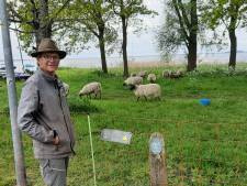 Wel even wennen aan schapen in de achtertuin in Harderwijk, ze vreten alle bloemen op