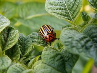 Grote aantallen coloradokevers in omgeving van Tessenderloseweg