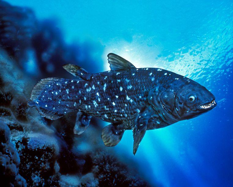 Een coelacant heeft de omvang van een volwassen mens. Beeld Getty Images/iStockphoto