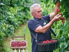 Kersen vroeger dan ooit, oogst veel minder dan vorig jaar