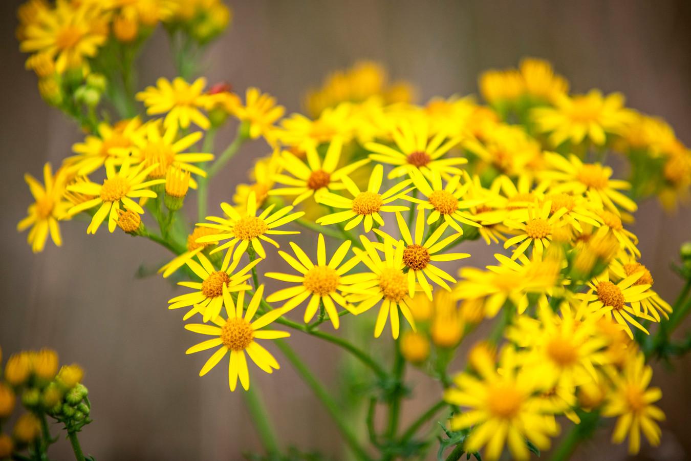 Jakobskruiskruid, het gele bloemetje ziet er onschuldig uit, maar is zeer giftig voor paarden, koeien en schapen.