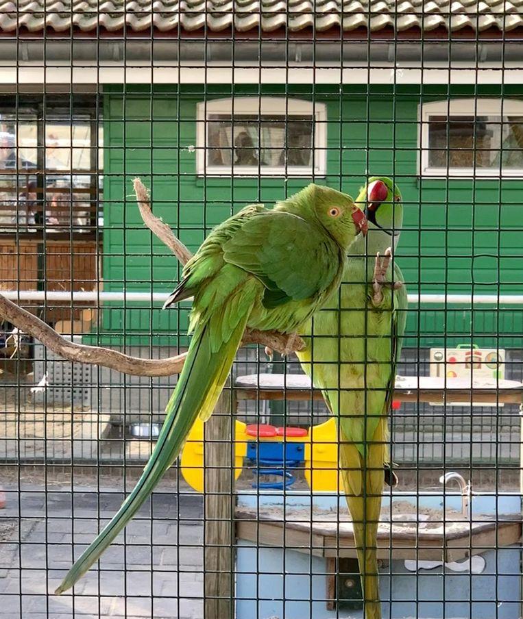 Halsbandparkieten-paar Romeo (vrije vogel) en Julia (tam) liefkozen elkaar dagelijks via het gaas. Beeld Kinderboerderij De Pijp